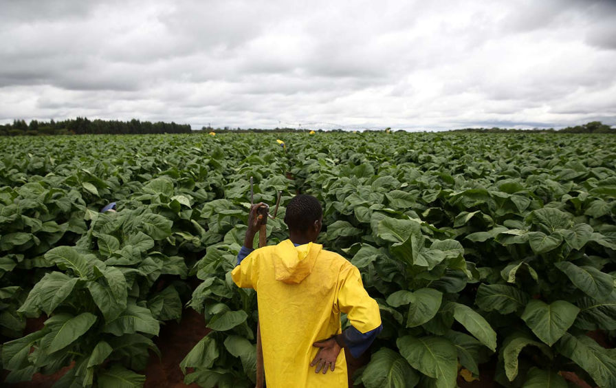 A farmworker rests while harvesting tobacco at Dormervale farm, east of Harare, Zimbabwe, on November 28, 2017. (Reuters / Siphiwe Sibeko)